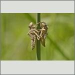 Bild 232 zum Bildarchiv Libellen