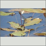 Bild 233 zum Bildarchiv Libellen