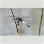 Bild 234 zum Bildarchiv Libellen
