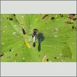 Bild 235 zum Bildarchiv Libellen