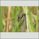 Bild 236 zum Bildarchiv Libellen