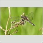 Bild 237 zum Bildarchiv Libellen