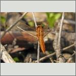 Bild 238 zum Bildarchiv Libellen