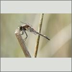 Bild 239 zum Bildarchiv Libellen