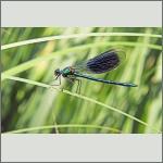 Bild 240 zum Bildarchiv Libellen
