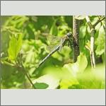 Bild 241 zum Bildarchiv Libellen