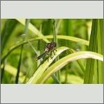 Bild 242 zum Bildarchiv Libellen