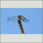 Bild 243 zum Bildarchiv Libellen