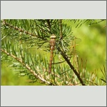 Bild 244 zum Bildarchiv Libellen