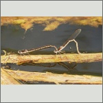 Bild 245 zum Bildarchiv Libellen