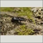 Bild 8 zum Bildarchiv Käfer