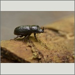 Bild 6 zum Bildarchiv Käfer