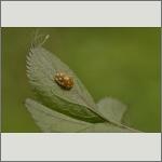 Bild 2 zum Bildarchiv Käfer