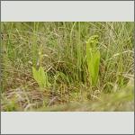 Bild 2 zum Bildarchiv Blüten Orchideen