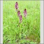 Bild 1 zum Bildarchiv Blüten Orchideen