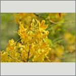 Bild 1 zum Bildarchiv Blüten Gehölze
