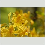 Bild 3 zum Bildarchiv Blüten Gehölze