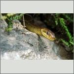 Bild 4 zum Bildarchiv Reptilien