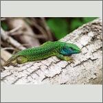 Bild 3 zum Bildarchiv Reptilien