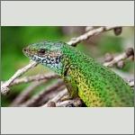 Bild 1 zum Bildarchiv Reptilien