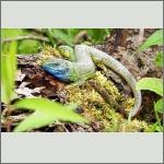 Bild 5 zum Bildarchiv Reptilien