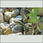 Bild 2 zum Bildarchiv Reptilien