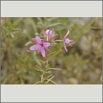 Bild 61 zum Bildarchiv Sonstige Blüten
