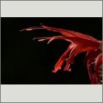 Bild 62 zum Bildarchiv Sonstige Blüten
