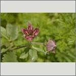 Bild 64 zum Bildarchiv Sonstige Blüten