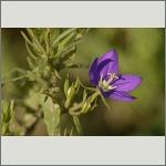 Bild 67 zum Bildarchiv Sonstige Blüten