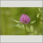 Bild 51 zum Bildarchiv Sonstige Blüten