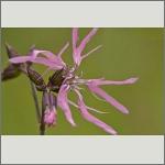 Bild 71 zum Bildarchiv Sonstige Blüten