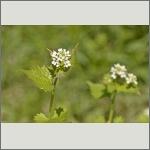 Bild 55 zum Bildarchiv Sonstige Blüten