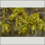 Bild 12 zum Bildarchiv Blüten Gehölze