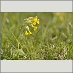 Bild 74 zum Bildarchiv Sonstige Blüten