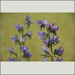 Bild 65 zum Bildarchiv Sonstige Blüten