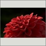 Bild 60 zum Bildarchiv Sonstige Blüten