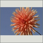 Bild 58 zum Bildarchiv Sonstige Blüten