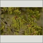 Bild 5 zum Bildarchiv Blüten Gehölze