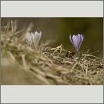 Bild 38 zum Bildarchiv Sonstige Blüten