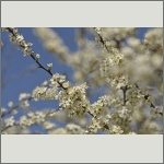 Bild 6 zum Bildarchiv Blüten Gehölze