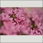 Bild 10 zum Bildarchiv Blüten Gehölze