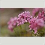 Bild 4 zum Bildarchiv Blüten Gehölze