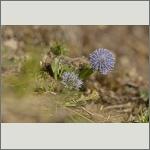 Bild 27 zum Bildarchiv Sonstige Blüten