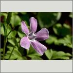 Bild 53 zum Bildarchiv Sonstige Blüten