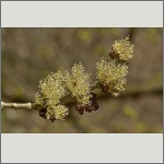 Bild 8 zum Bildarchiv Blüten Gehölze