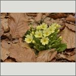 Bild 50 zum Bildarchiv Sonstige Blüten