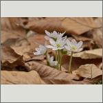 Bild 49 zum Bildarchiv Sonstige Blüten