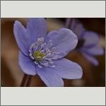 Bild 42 zum Bildarchiv Sonstige Blüten