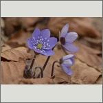 Bild 47 zum Bildarchiv Sonstige Blüten